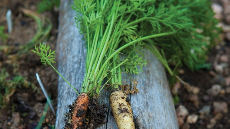 The carrot from organic vegetable garden of Saxon Hotel, Villas & Spa in Johannesburg