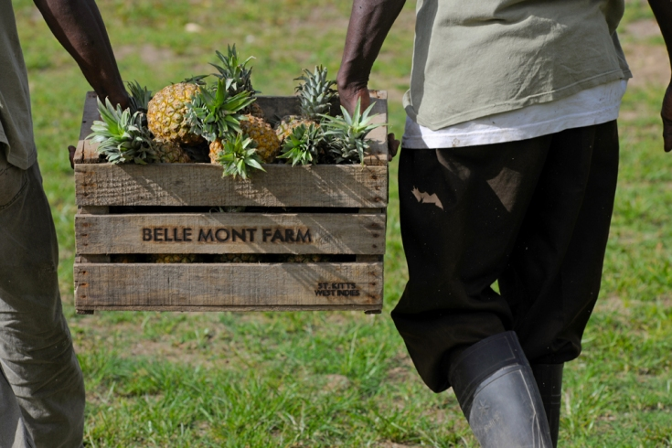 Pineapple from the fruits & vegetable garden of Belle Mont Farm, Kittitian Hill in Saint Kitts and Nevis