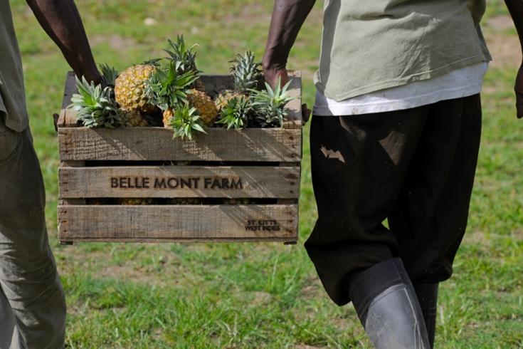 Pineapple from the fruits & vegetable garden of Belle Mont Farm, Kittitian Hill in Saint Kitts and Nevis