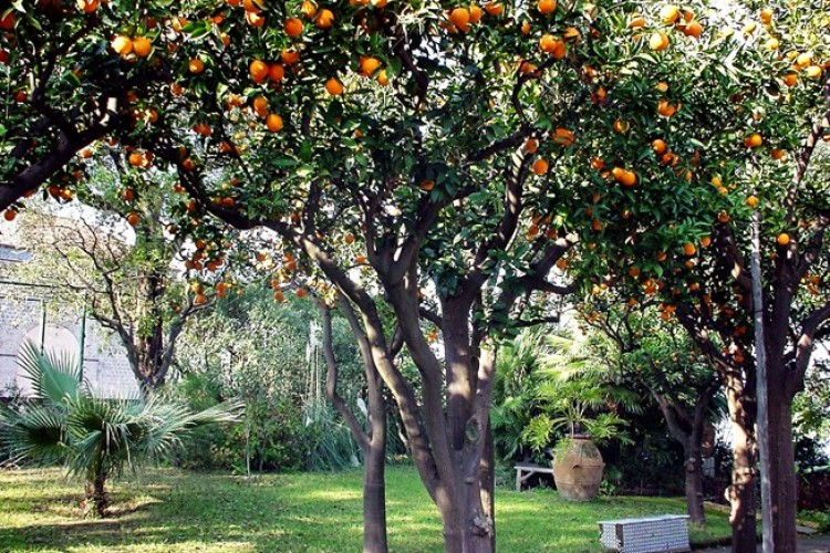 Orange Trees at Grand Hotel Excelsior Vittoria, Sorrento